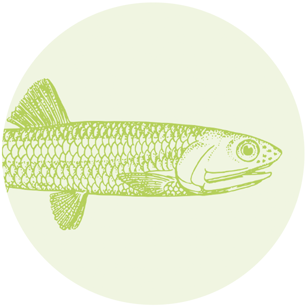Omega-3 Fischöl aus Wildfang-Anchovis